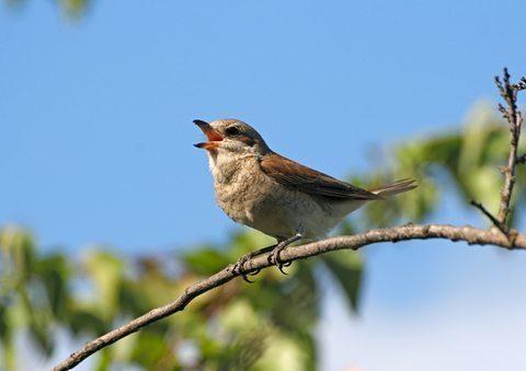 birdsinging3