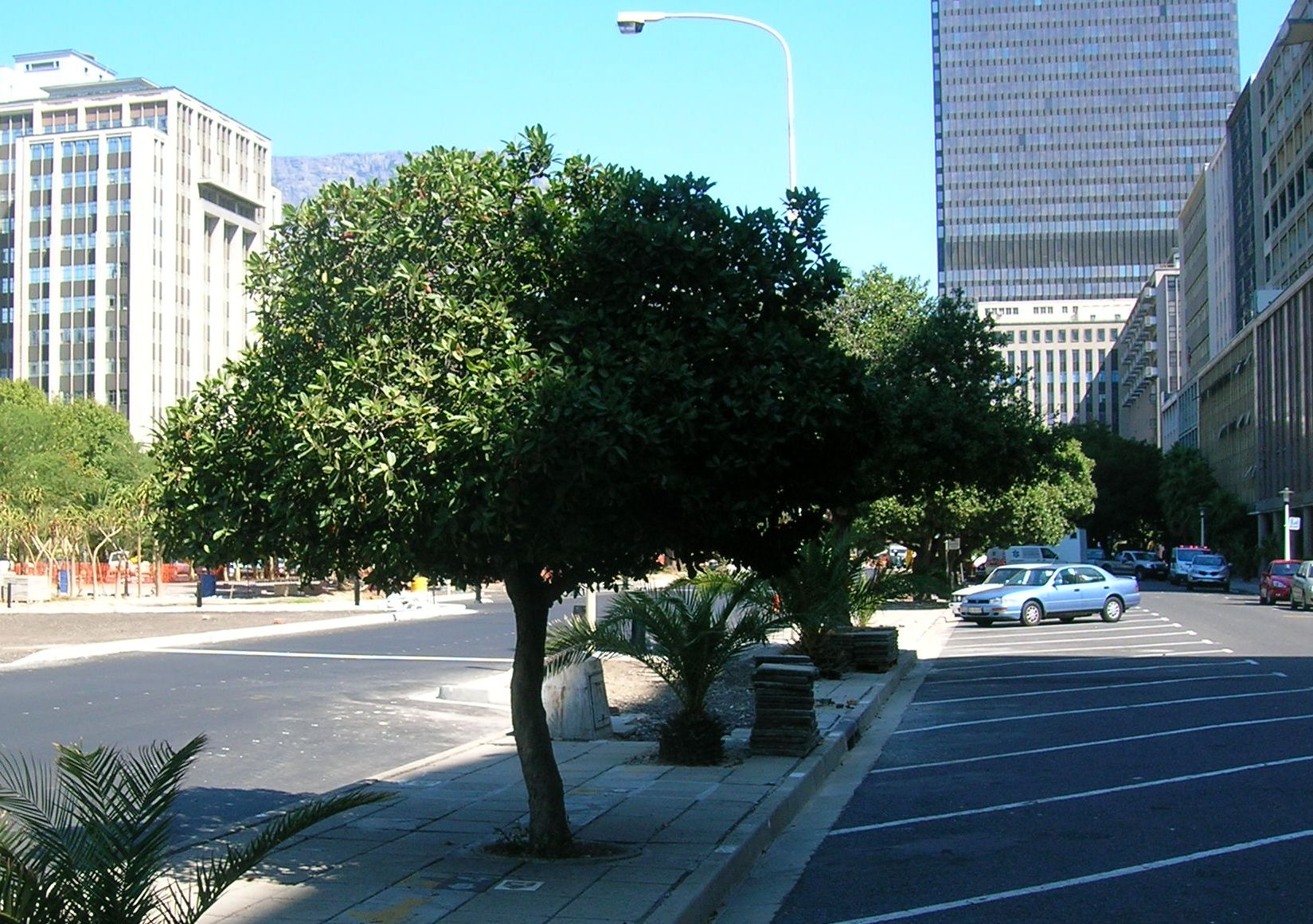 Young_Milkwood_trees_in_Cape_Town_city_centre_-_Sideroxylon_inerme_2